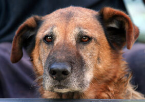 The Benefits of Adopting a Senior Dog